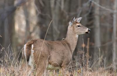 DNR proposes longer antlerless-deer seasons, but slightly more conservative bag limits
