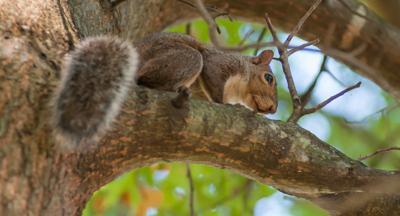 Squirrel advancer