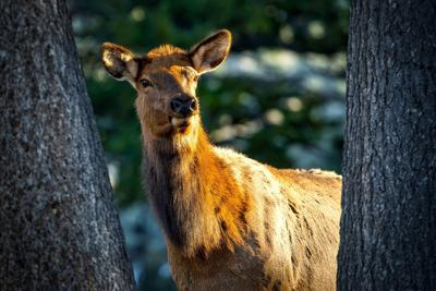 cow-elk-1730059_1280