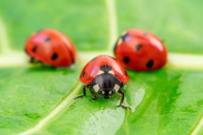 Three ladybugs on the green leaf