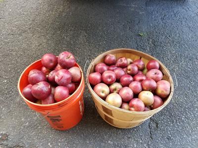 20190623-gm-good-to-grow-apples pic.jpg