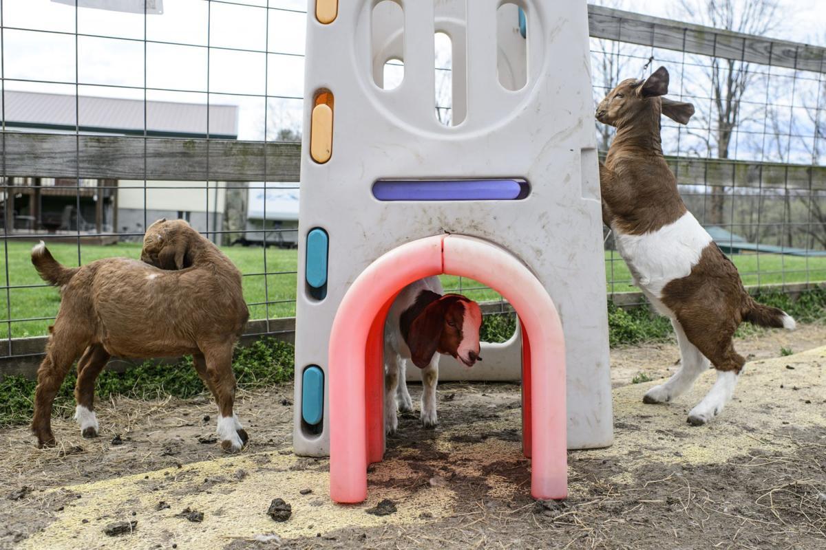 Kid stuff: The challenging art of raising baby goats | Life