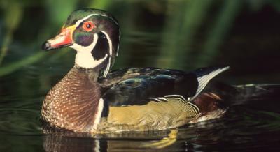 Duck opener