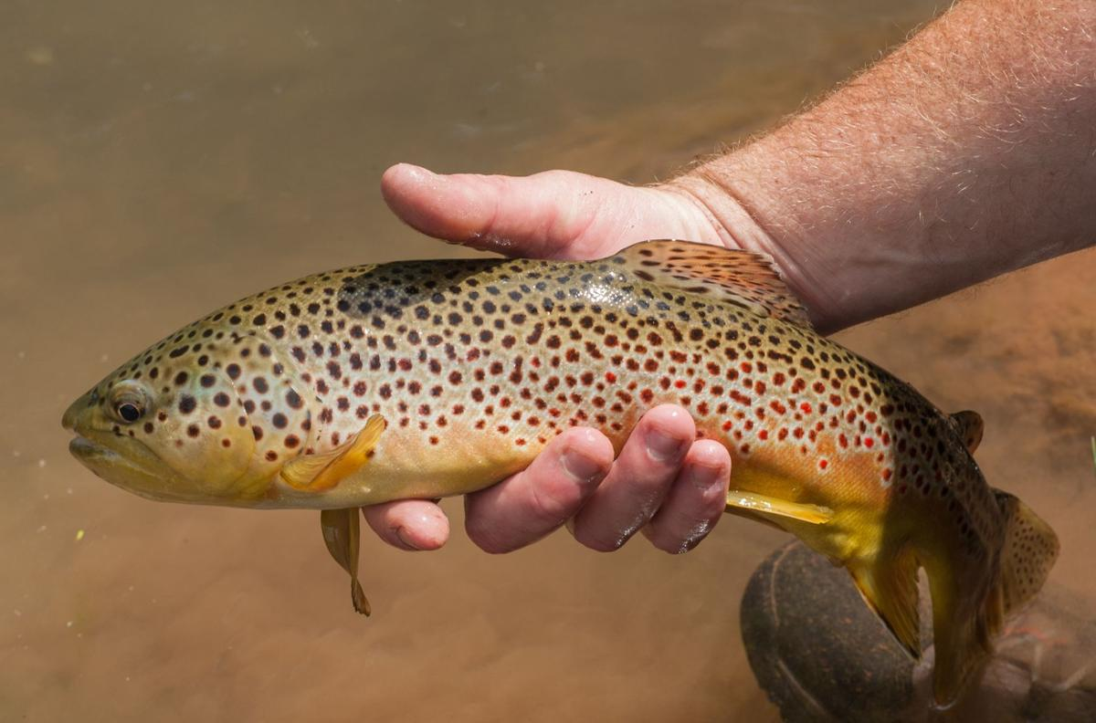 a6bc3fa6c85 Trout plan will address wild and native fish
