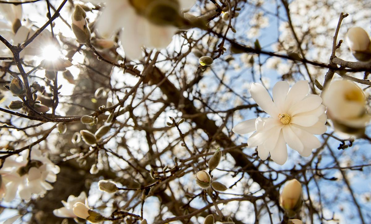 blossoming tree2