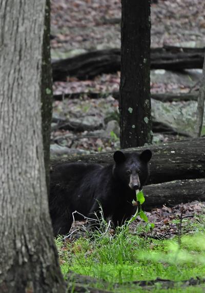 Bear doe