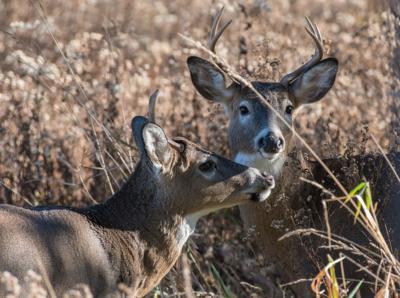 Deer numbers