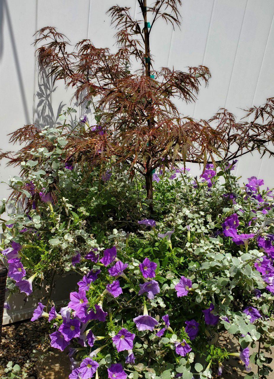 20210725-gm-good2grow_japanese maple tree.jpg