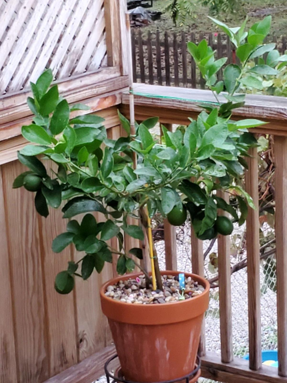 20191110-gm-good-to-grow-Chris's lime tree photo.jpg