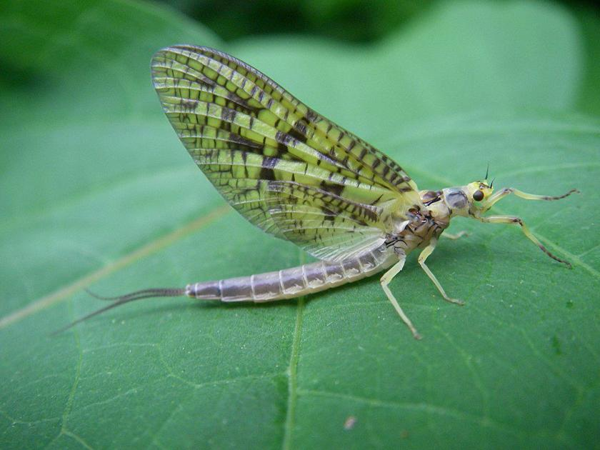 Mayflies: A fly angler's first love