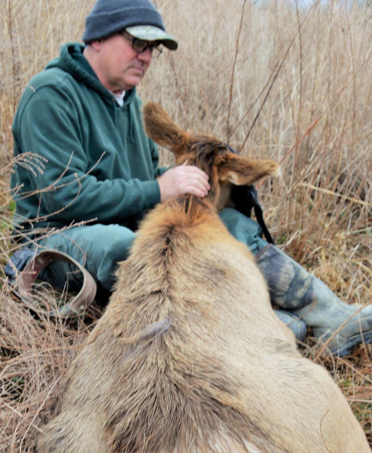 Elk collaring