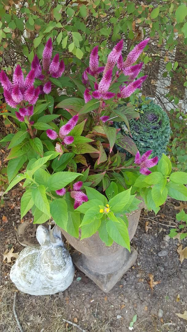 20190929-gm-garden-fall planter w lantana cabbage and    celosia.jpg