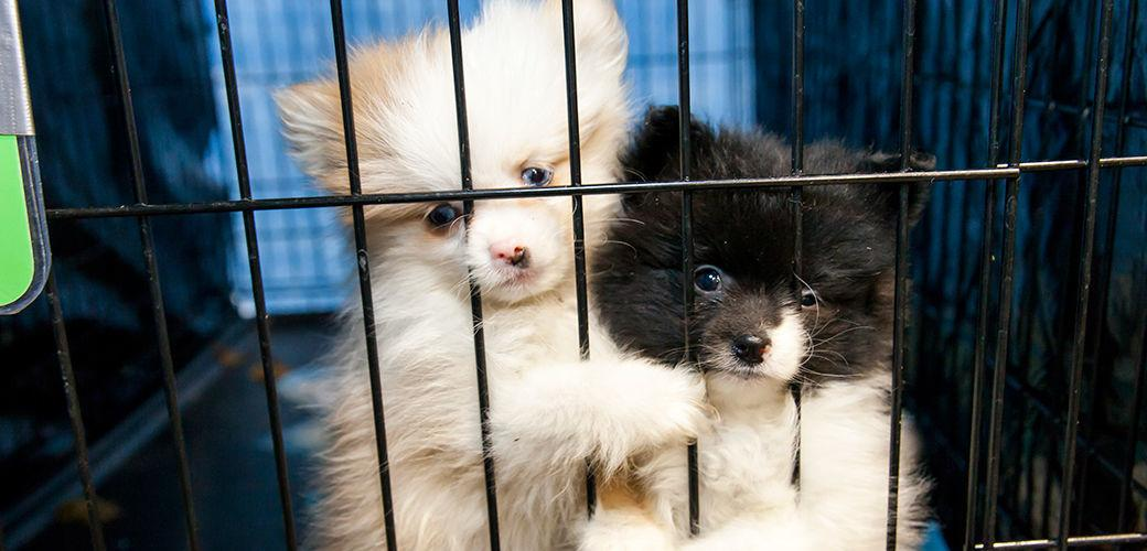 Laws for Paws: California bans breeders, puppy mills