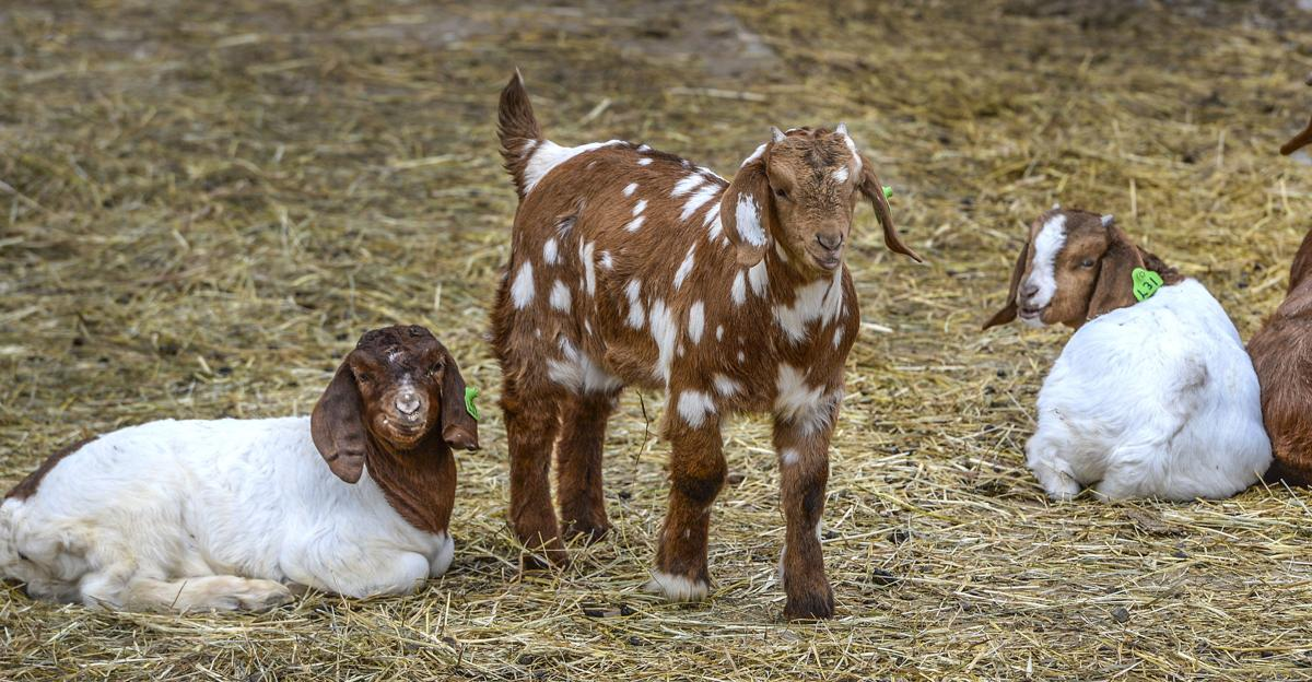 Spring Goats