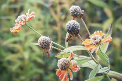 Helenium flowers with white frost