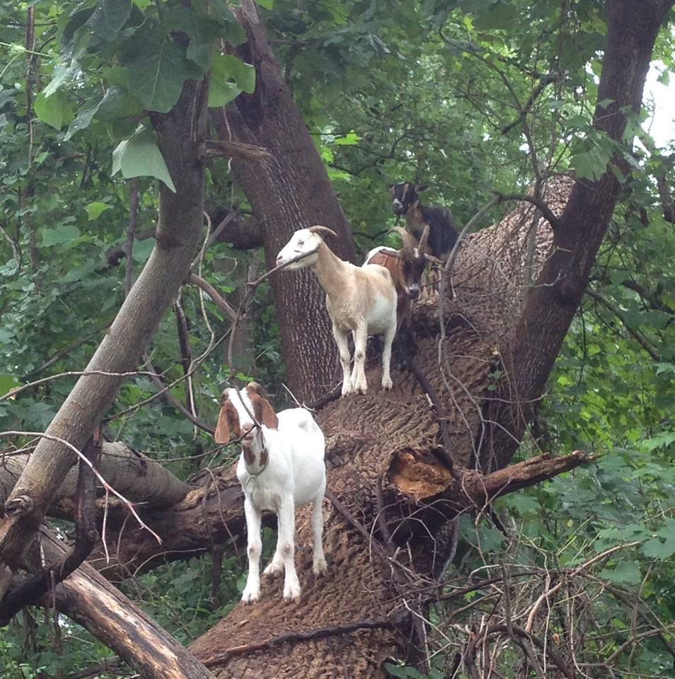 Park Service turns to goats to combat kudzu in Thurmond area