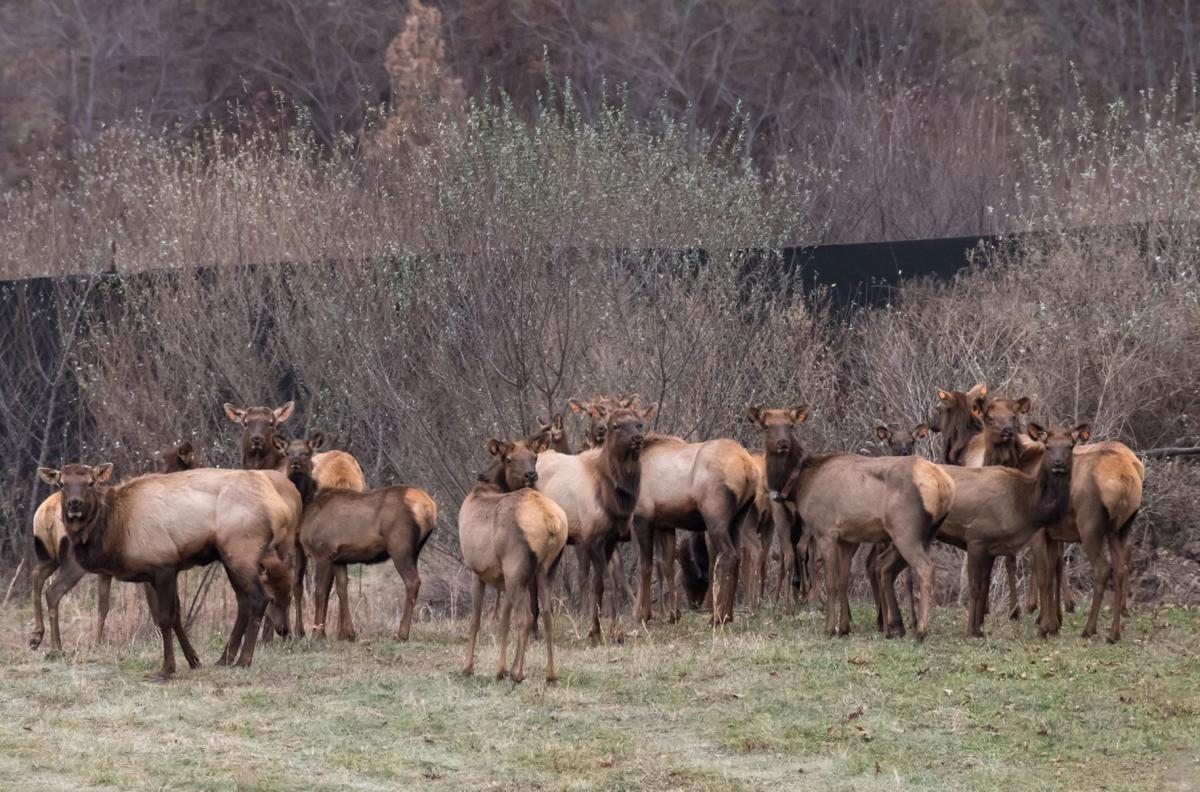 WV welcomes elk back to its hills