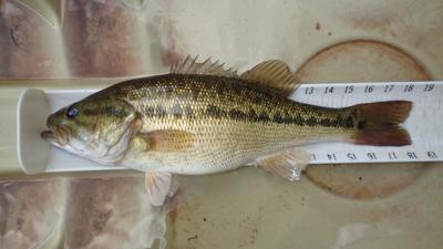 Alabama bass