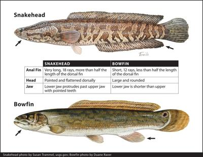 DNR produces graphic to help aid anglers in identifying fish