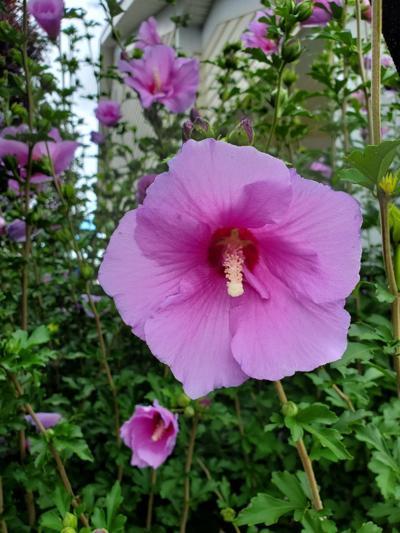 20210822-gm-garden_Rose of Sharon.jpg