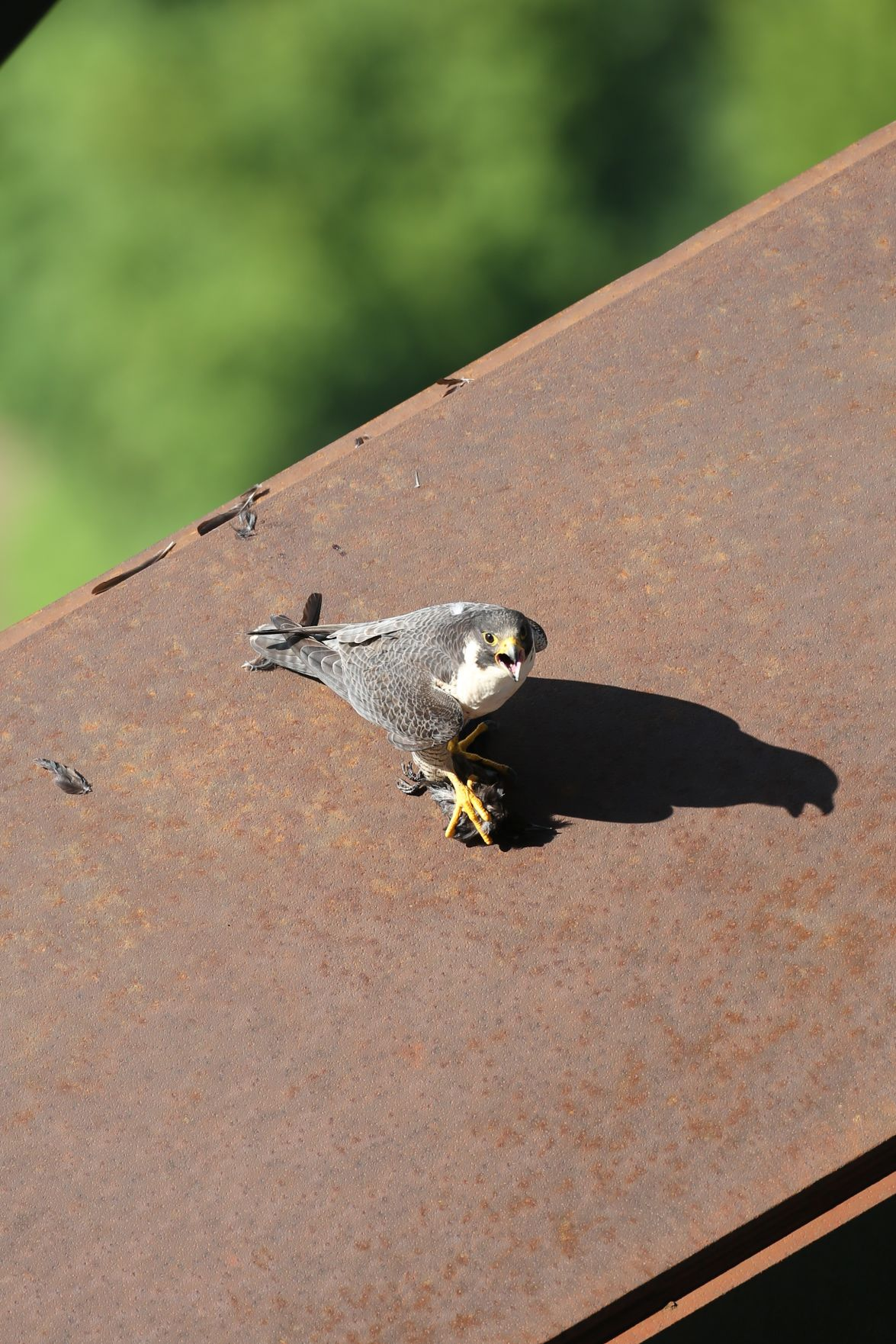 Baby falcons stealing the show under New River Gorge Bridge
