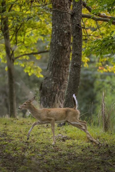 PHOTO: Good morning, deer (copy)