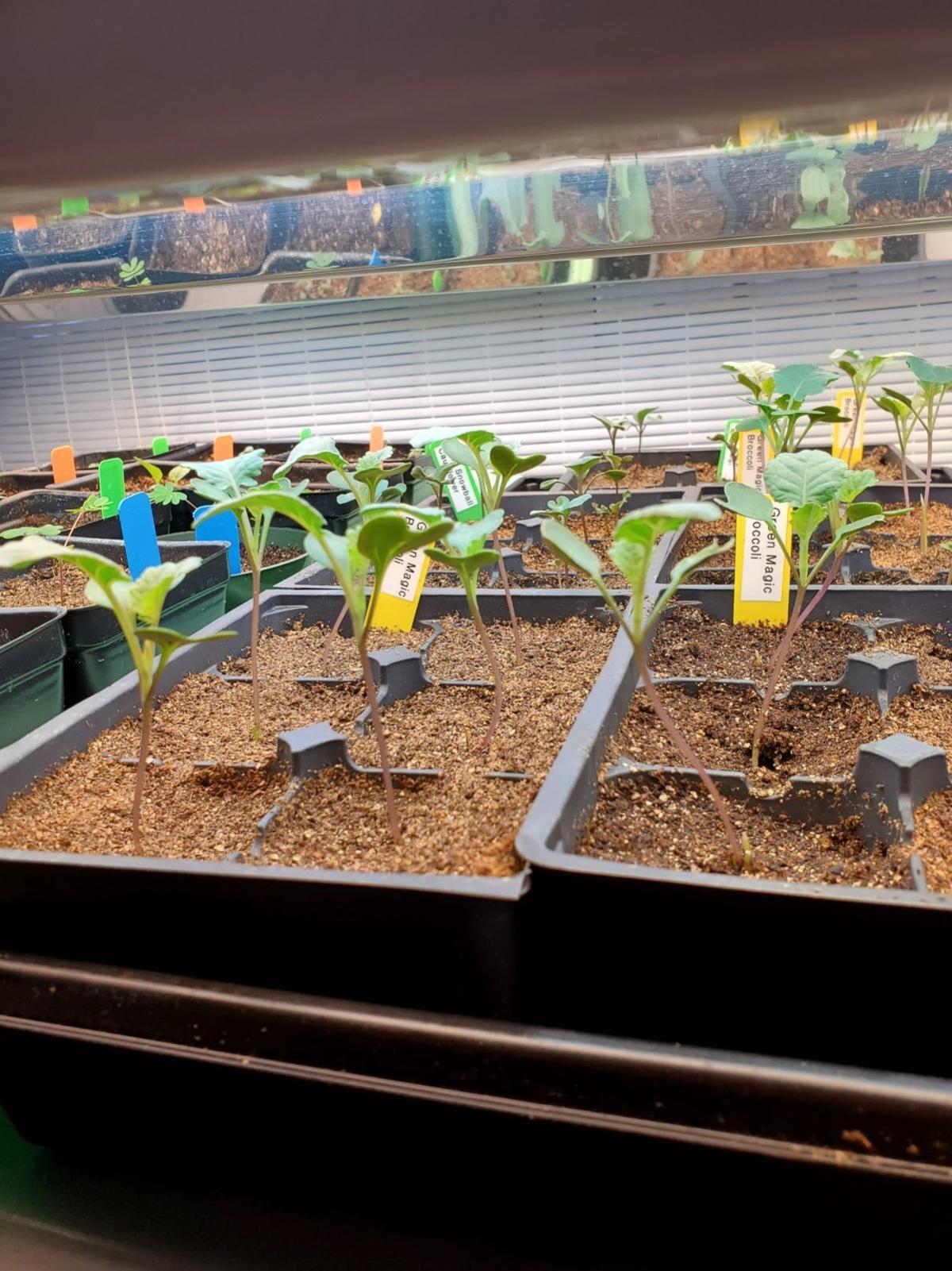 20200301-gm-garden-Broccoli & Perennial seedlings 2020.jpg