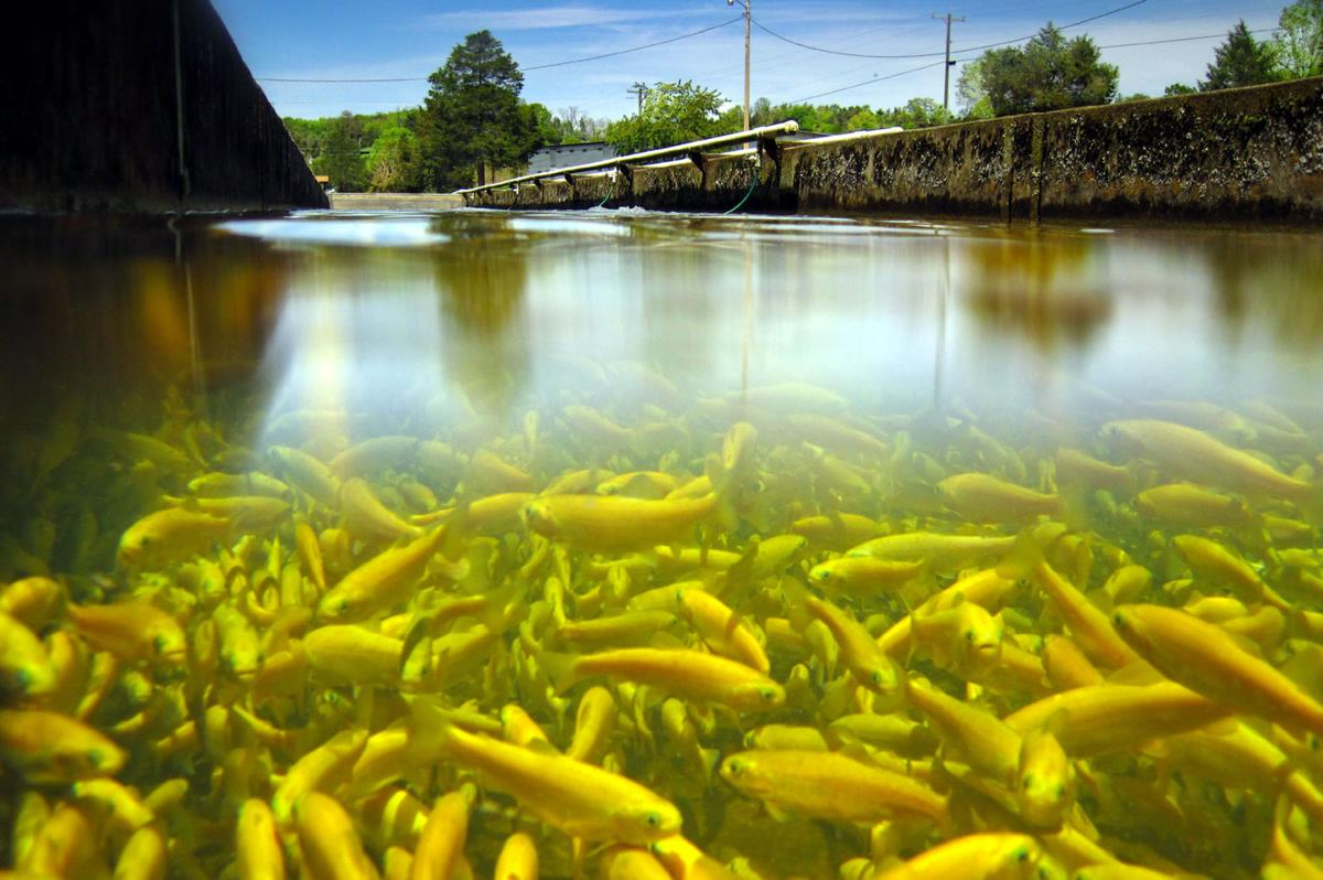 50 years later, golden rainbows still 'a treat' for Mountain State fishermen