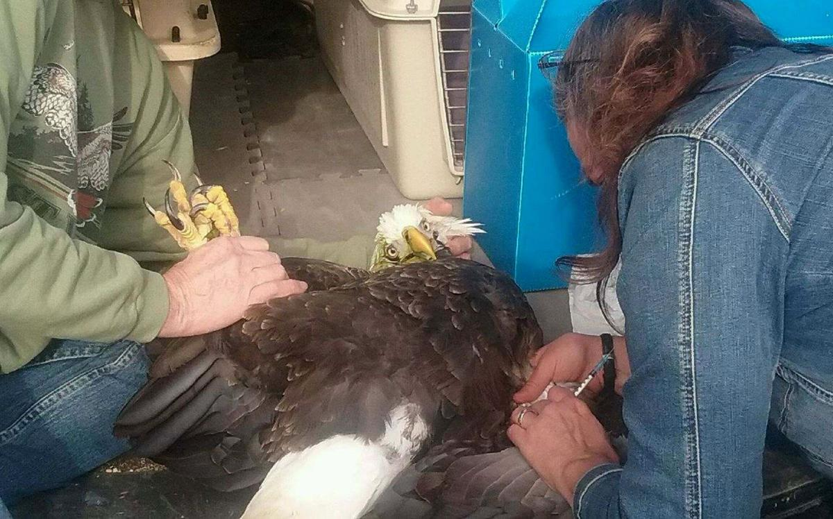 Greenbrier bald eagles victims of lead poisoning