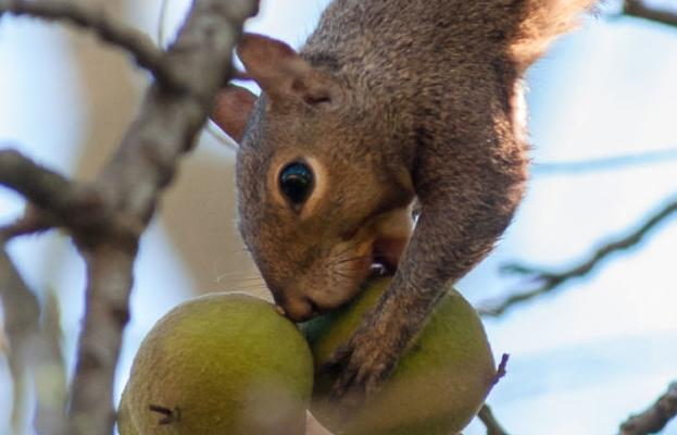 Wv Has Plenty Of Squirrels This Year Wildlife Officials Say