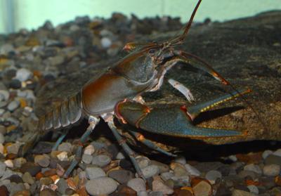 Big Sandy crayfish