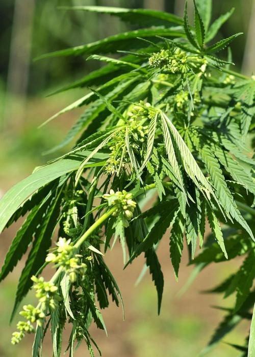Farmers eye West Virginia for industrial hemp production (Daily Mail