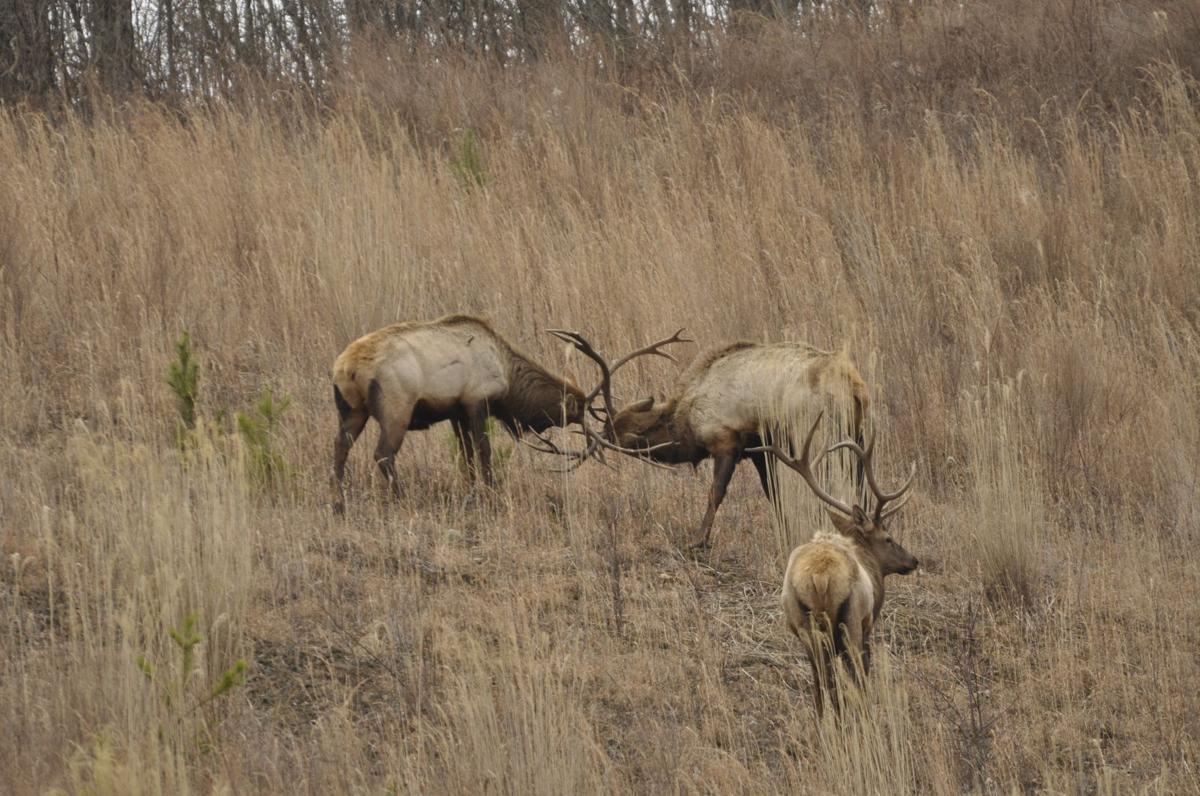 W.Va. DNR announces new public areas for elk reintroduction ...
