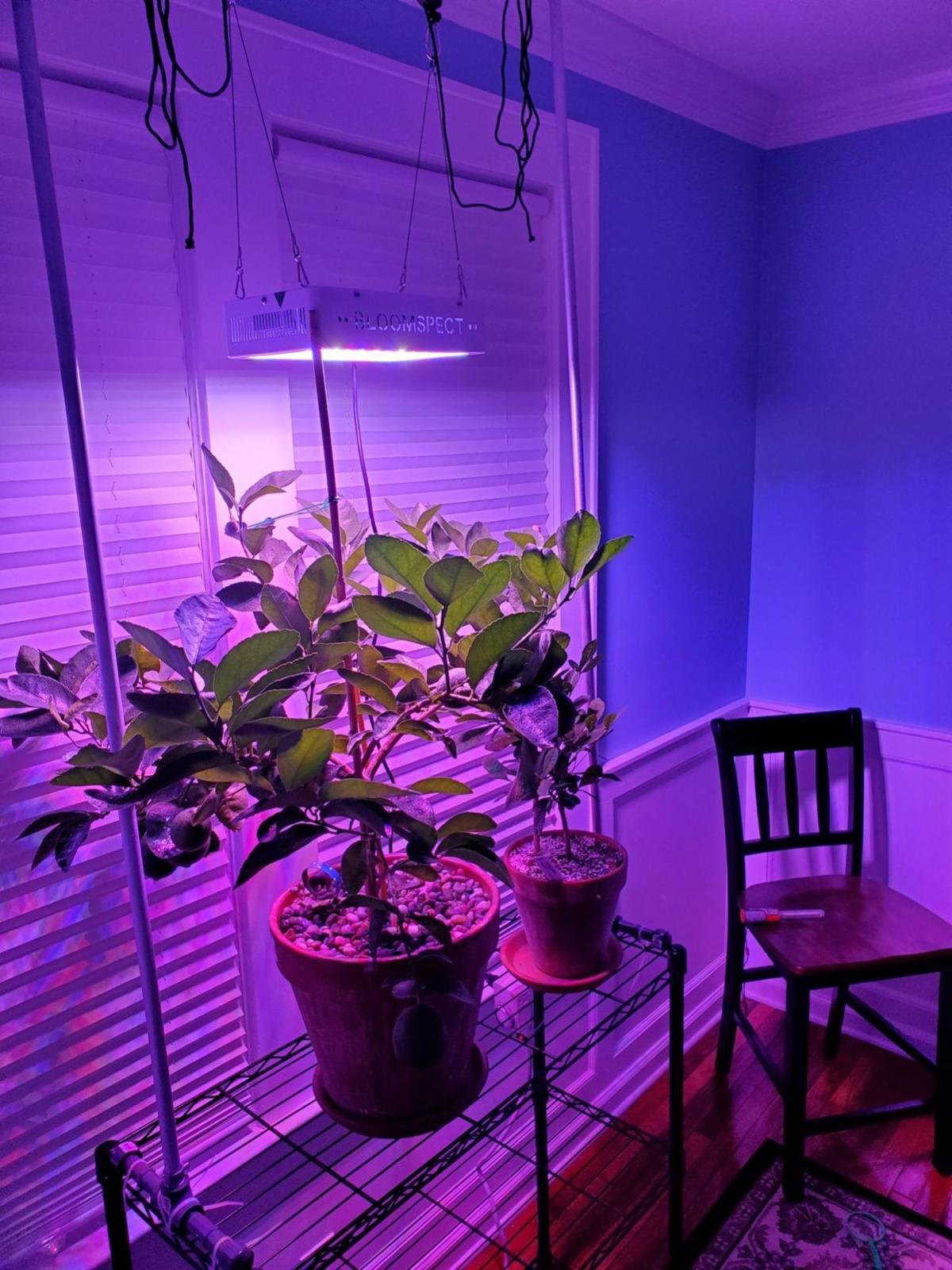20191110-gm-good-to-grow-Chris's lime under LED photo.jpg
