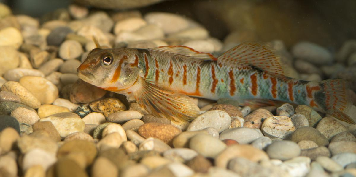 Scientists battle to save WV's native candy darter populations