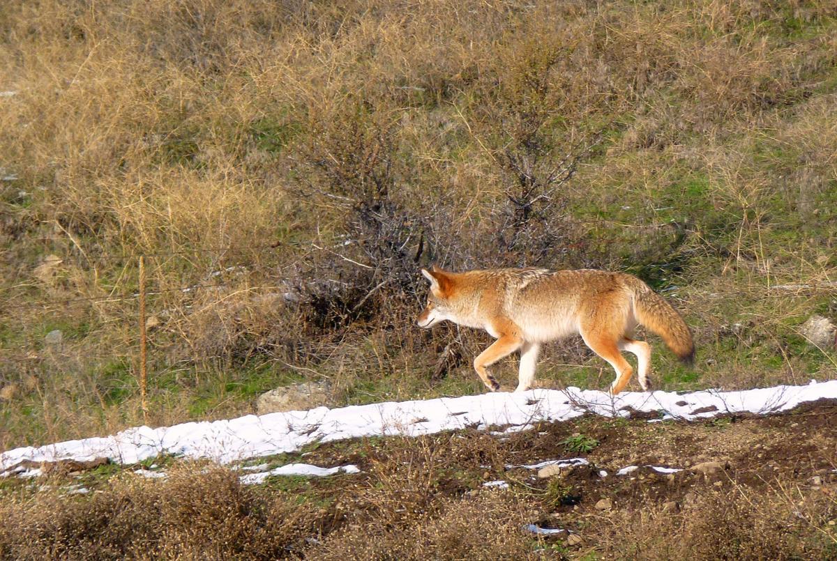 Coyotes-YH-100717-3.jpg
