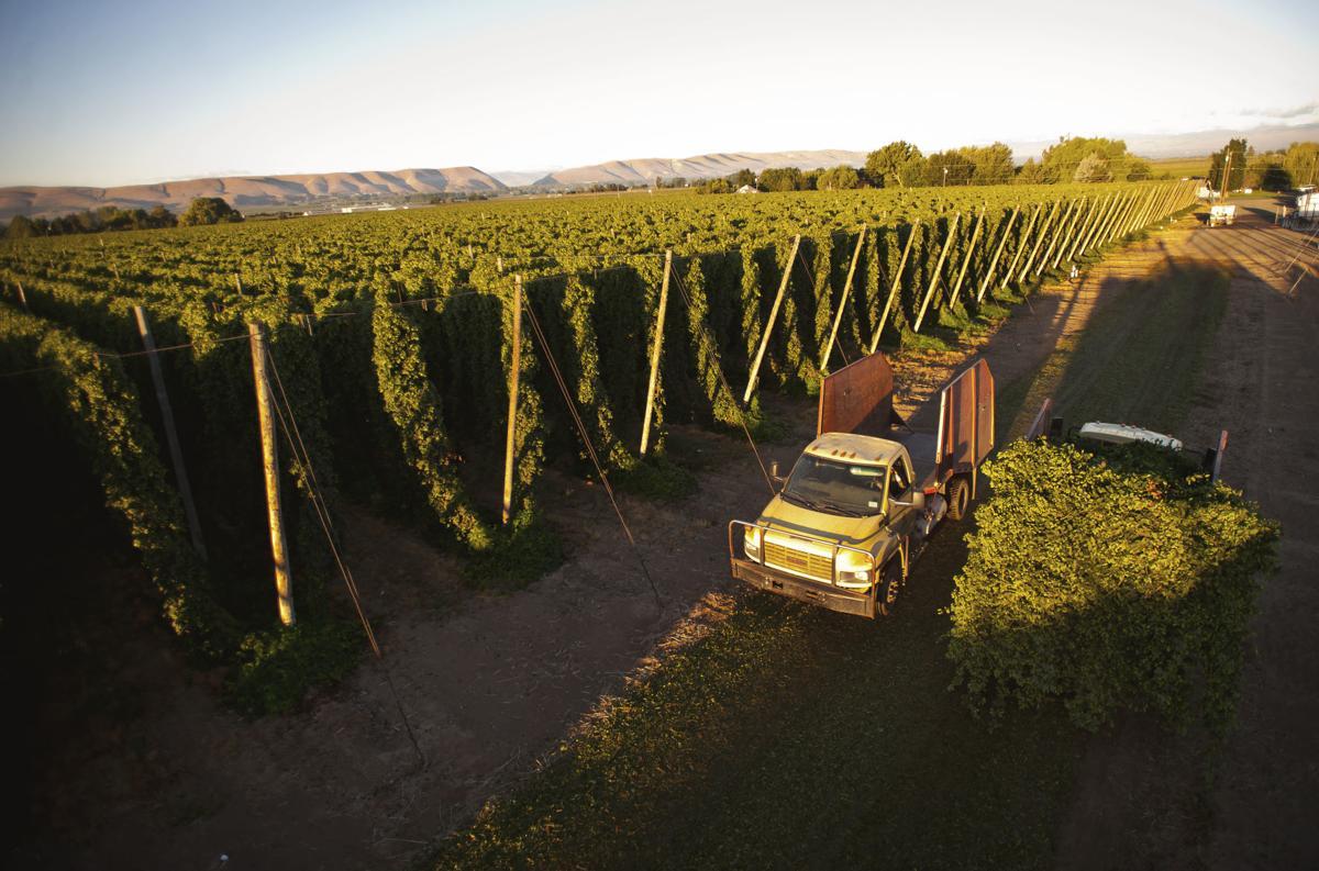 resized hop harvest 2_balebreaker_001 credit Yakima Valley Tourism (2).jpg