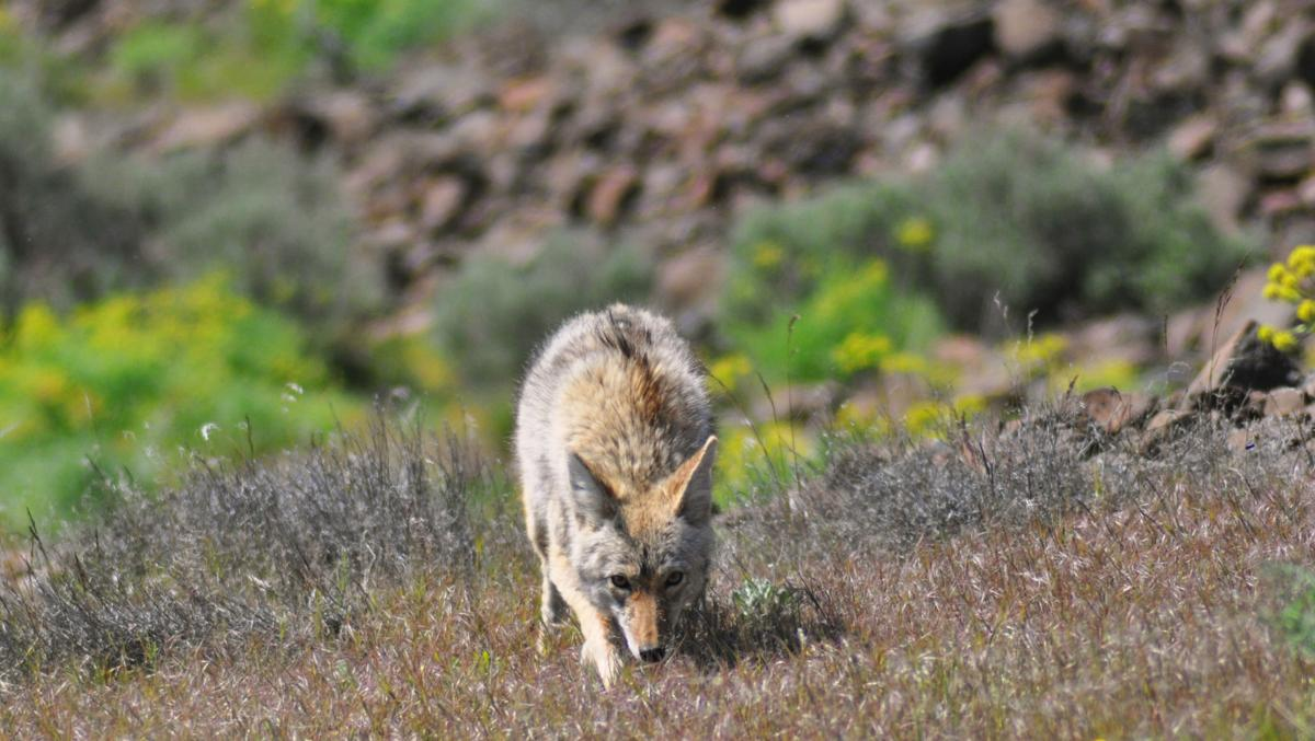 Coyotes-YH-100717-2.jpg