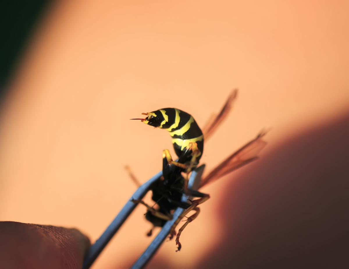 dangerous insect wasp with a sharp poisonous sting clamped in metal tweezers removed from the skin