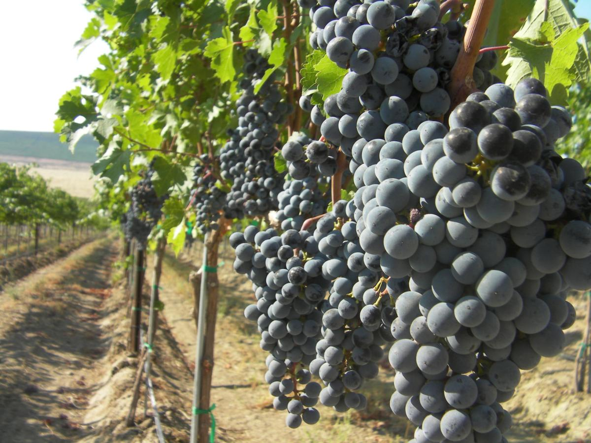 Red Mountain S Importance In Washington Wine Food And
