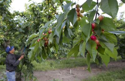 Mattawa cherry orchard file