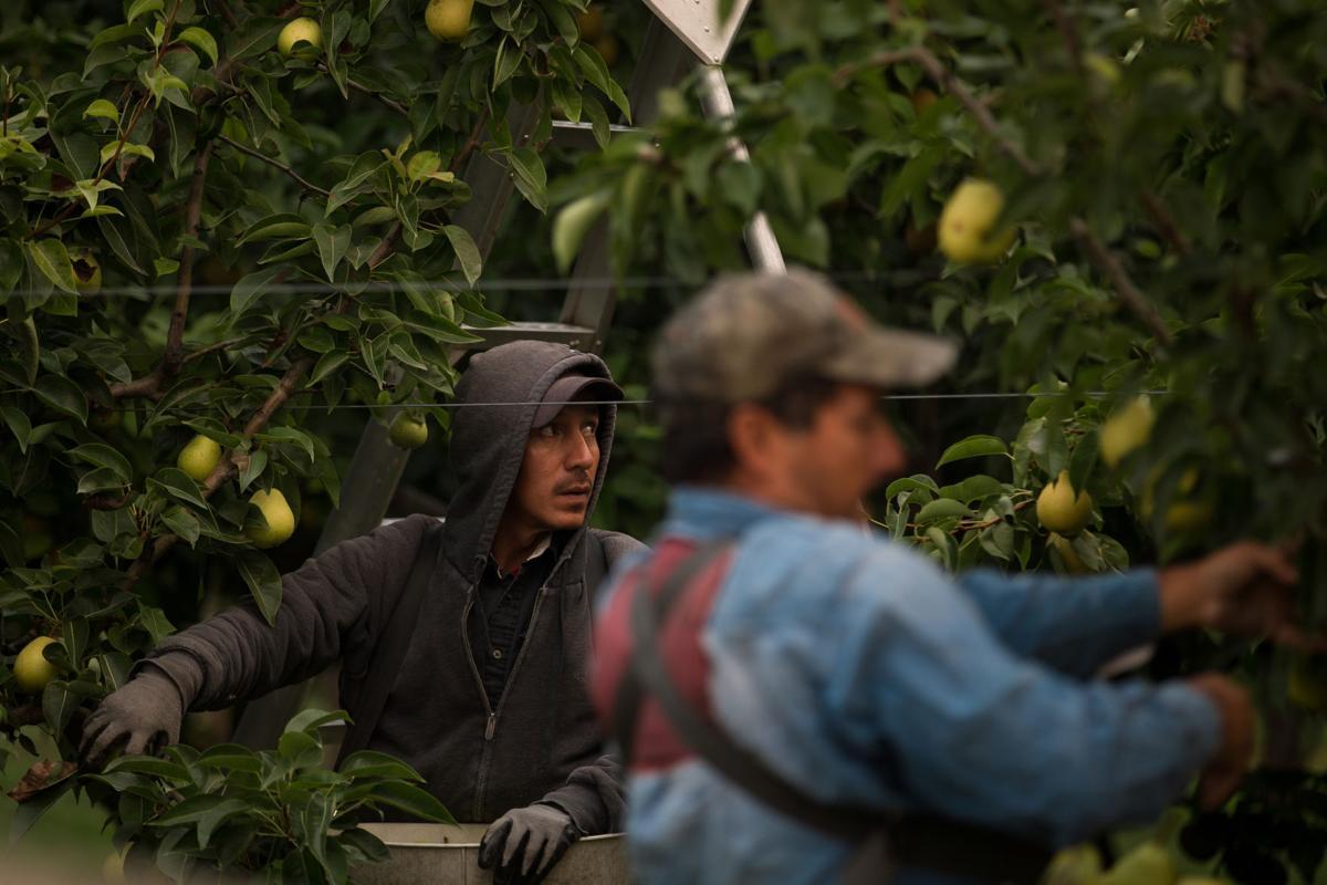 Pears-YH-090617-1.jpg