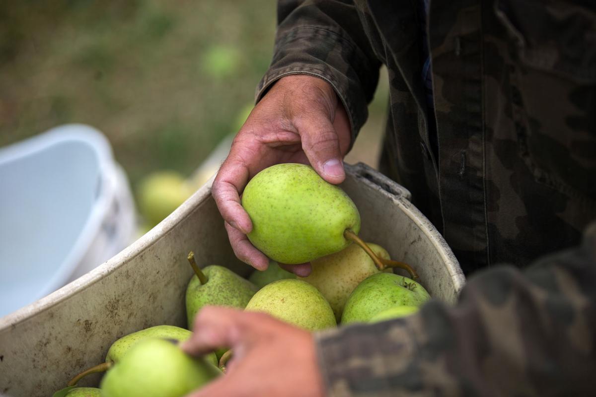 Pears-YH-090617-2.jpg