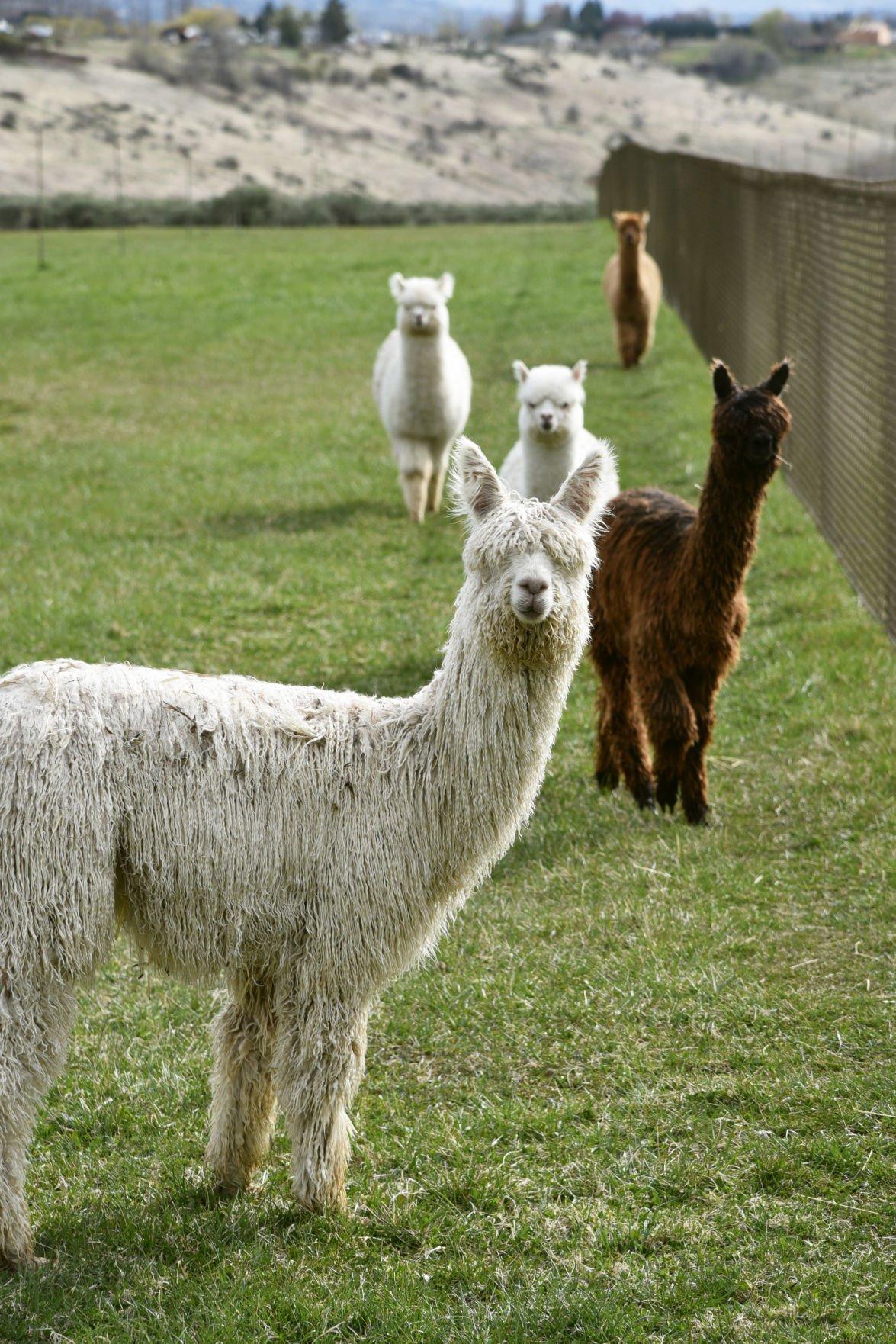 alpaca farming grants