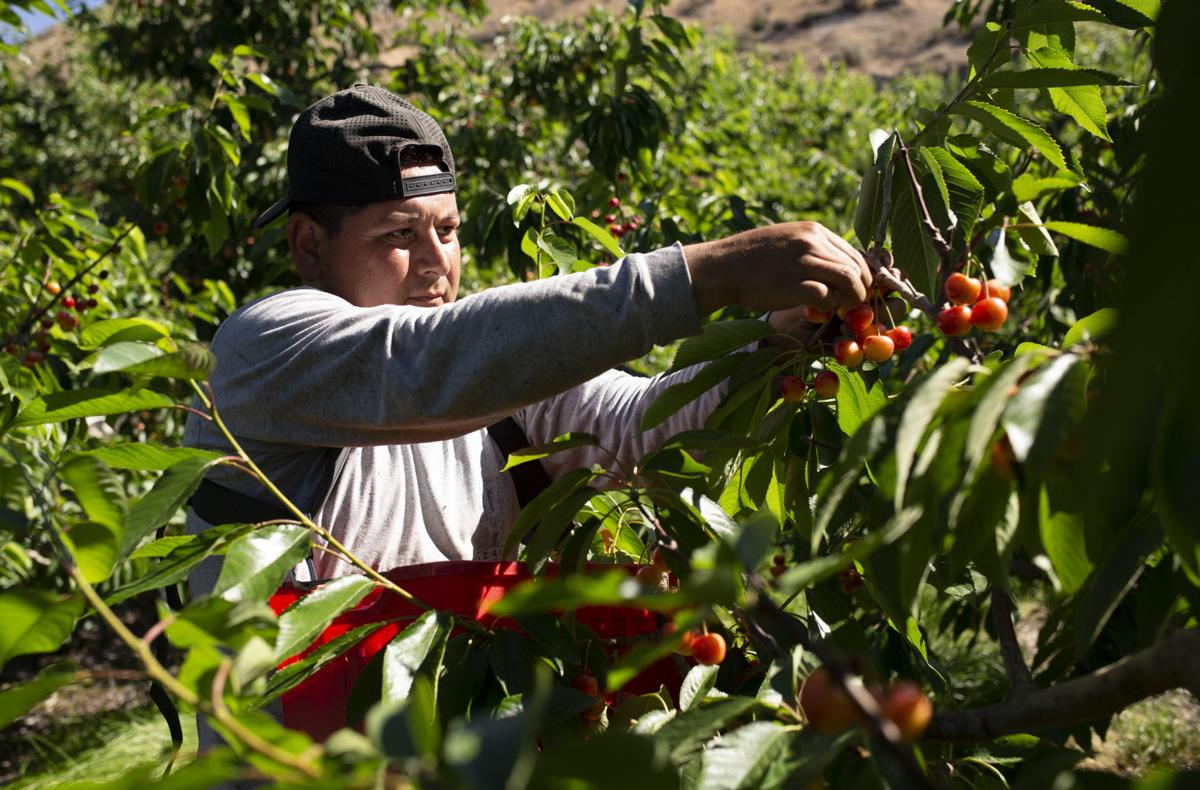 June 26 | Early morning cherry pick