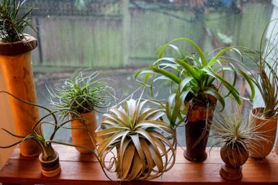 In The Garden Air Plant Error A Lesson On The Lovely Tillandsias