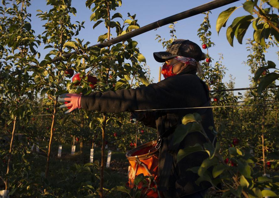 Apple harvest off to good start in Central Washington