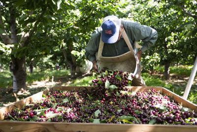 190616-yh-bl-cherryharvest-3.jpg