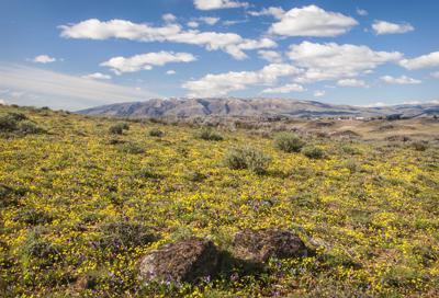 resized David Hagen_Field of Goldstar & Mt Cleman, Cowiche Canyon Uplands.jpg