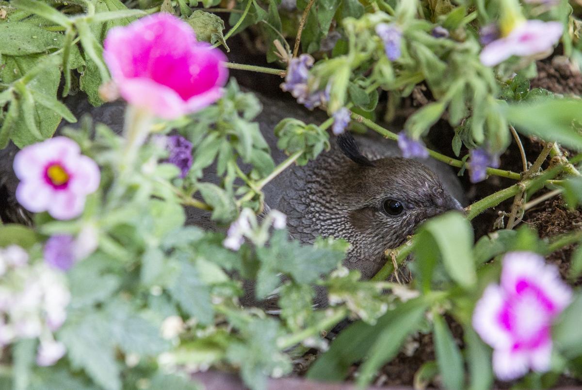 200628-yh-news-quail-1.jpg